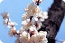 시의 꽃-매화
